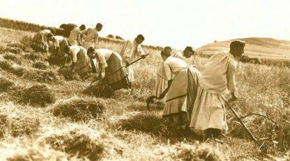közös aratás
